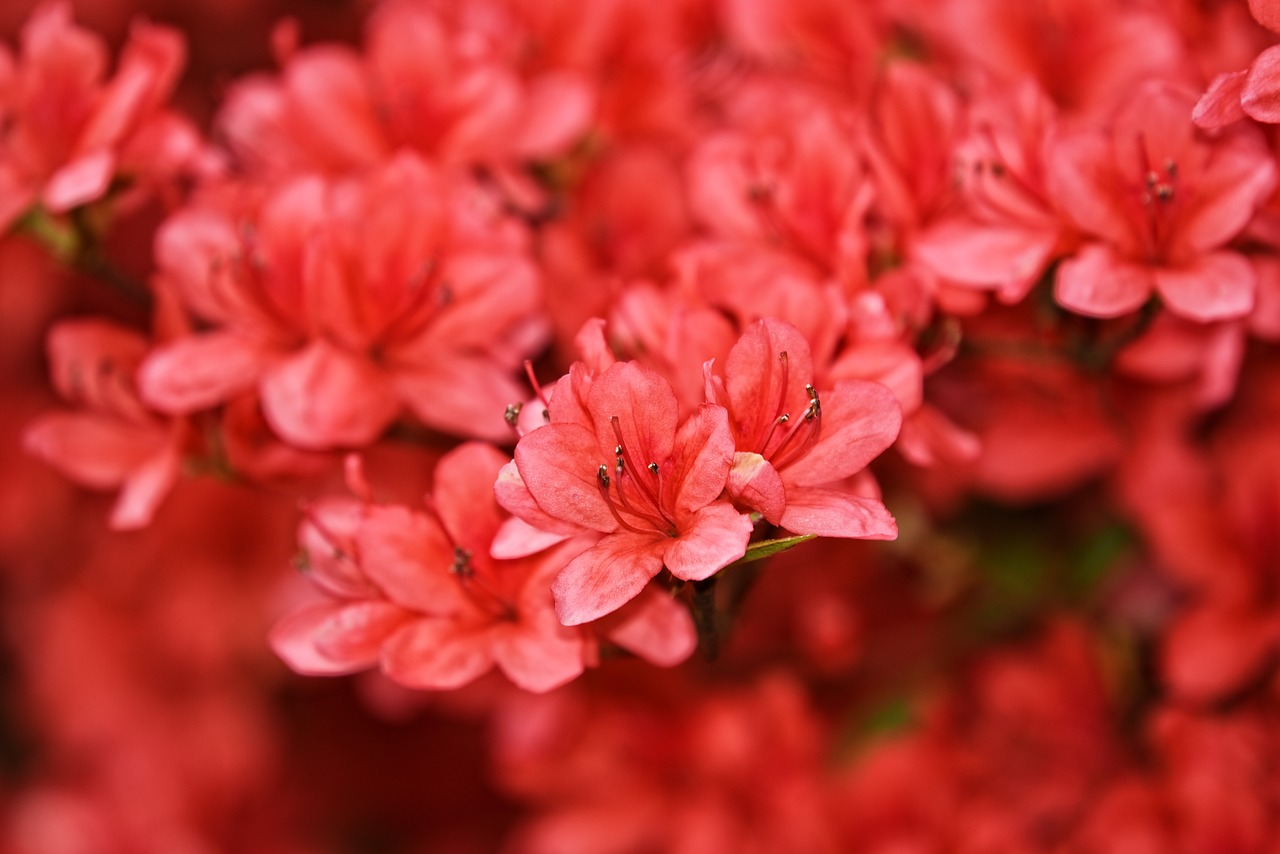 Growing Azaleas in containers
